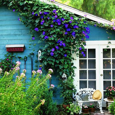 this is pure beauty!: Mornings Glories, Clematis, Color, Flowers Vines, Cottage, Plants, Blue Houses, Backyard, Gardens Sheds