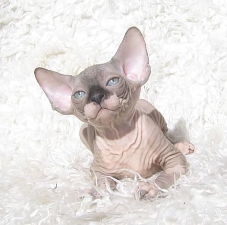 Egyptian Hairless Cats for Sale   sphynx cattery sphynx kittens for sale naked cats hairless cats ...