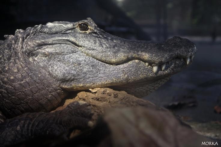 Alligator, Zoo de Beauval, 2012-08-16