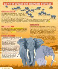 La vie de groupe des éléphants d'Afrique - Mon Quotidien, le seul site d'information quotidienne pour les 10-14 ans !