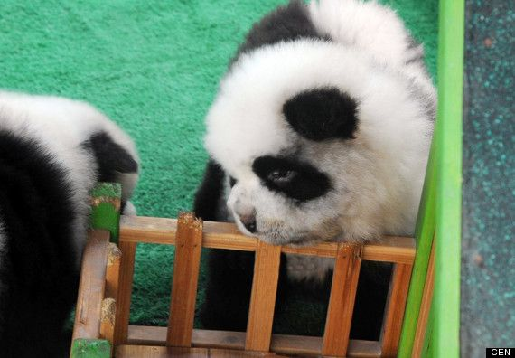 panda dogs..chows dyed to resemble pandas.