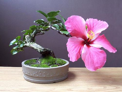 One of my old hibiscus bonsai trees. I took this picture of it flowering one month before it fell off a table during a storm. Glad it was able to show it's true beauty before it died.