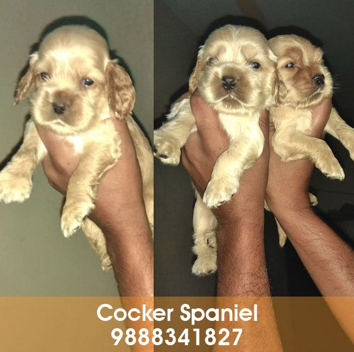 English Cocker Spaniel Puppy In Chandigarh Jalandhar City