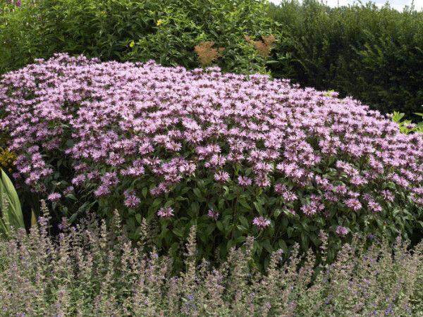 Monarda Fistulosa Beauty Of Cobham M Indianernessel Indianernessel Gartencenter Garten