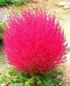 Kochia Scoparia - annual grass