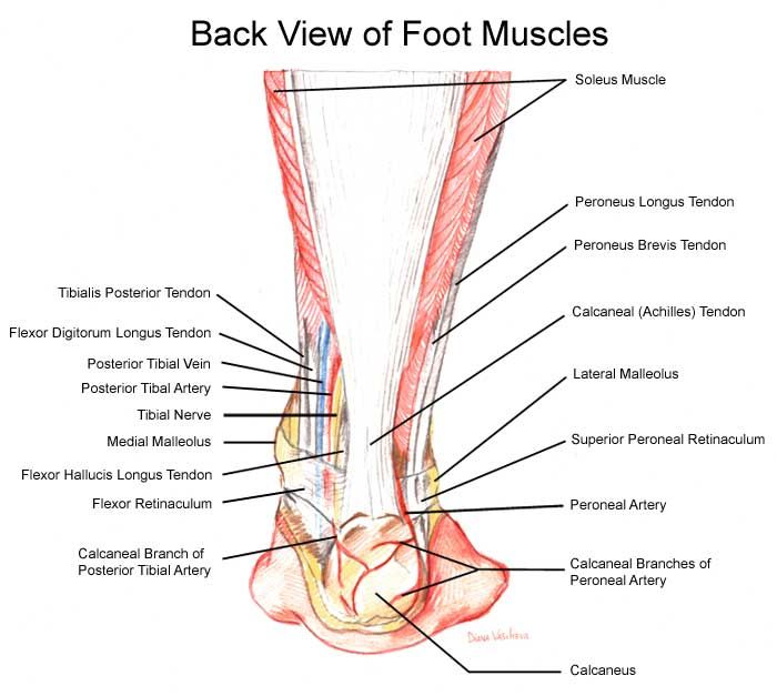 Medial Ankle Pain | the anterior tibial, which enables the foot to move upward;