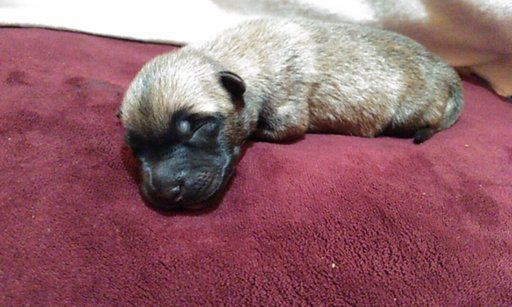 Belgian Malinois puppy for sale in HOUSTON, TX. ADN-44485 on PuppyFinder.com Gender: Male. Age: 2 Weeks Old