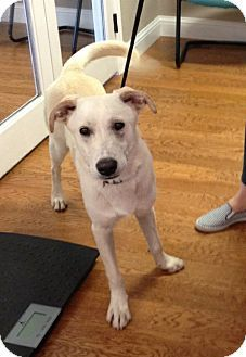 Garland, TX - Labrador Retriever Mix. Meet Logan, a dog for adoption. http://www.adoptapet.com/pet/13949103-garland-texas-labrador-retriever-mix