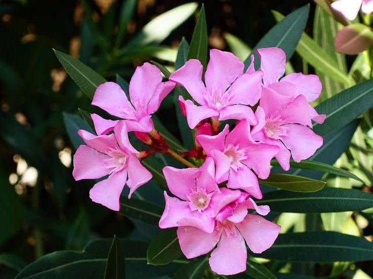 Diese mediterrane Pflanze zu überwintern bedarf einiger Vorsichtsmaßnahmen. Wir verraten, wie Sie Ihren Oleander optimal vor Frost schützen.