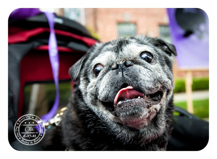 Otis - June 27 - American Cancer Society Co-Chair Dog for Bark for Life Issaquah Pug-Dog