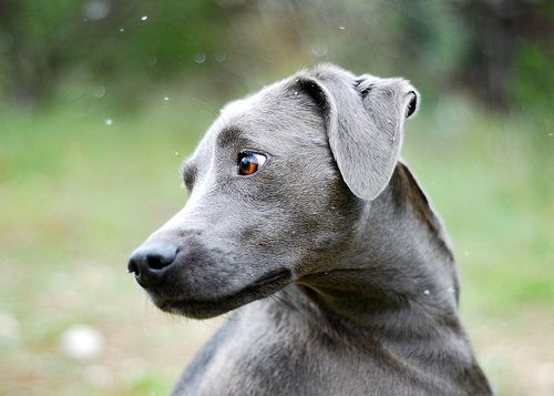 18 best images about texas blue lacy dogs on pinterest
