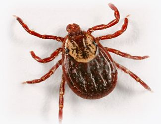 Wood Ticks, Pets, and Things You Should Know — There are more than 650 species of hard ticks (part of the Ixodidae family). The adult tick has eight legs and . . . http://blog.21stcenturypet.com/2012/07/wood-ticks-pets-and-things-you-should-know/#
