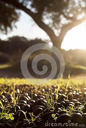 Dehesa Ground Full Of Fallen Acorns - Download From Over 56 Million High Quality Stock Photos, Images, Vectors. Sign up for FREE today. Image: 62025281