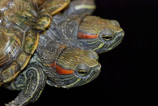 1000 images about shelldon on pinterest red eared for Trachemys scripta