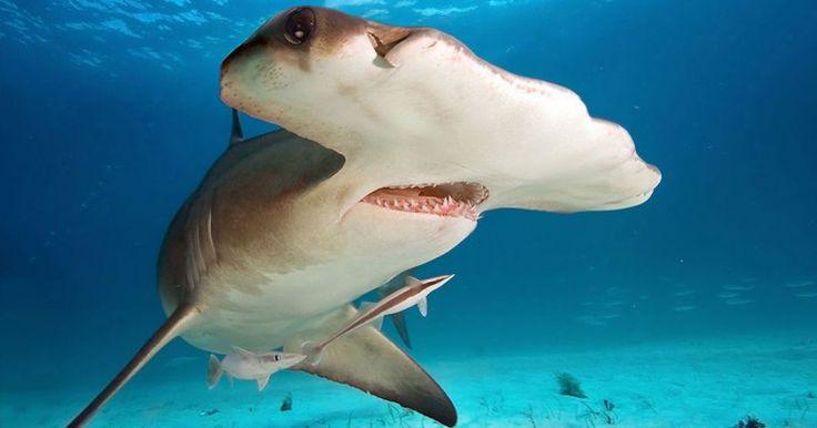 Un-requin marteau