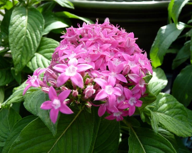 Pentas lanceolata 'Butterfly Deep Pink'