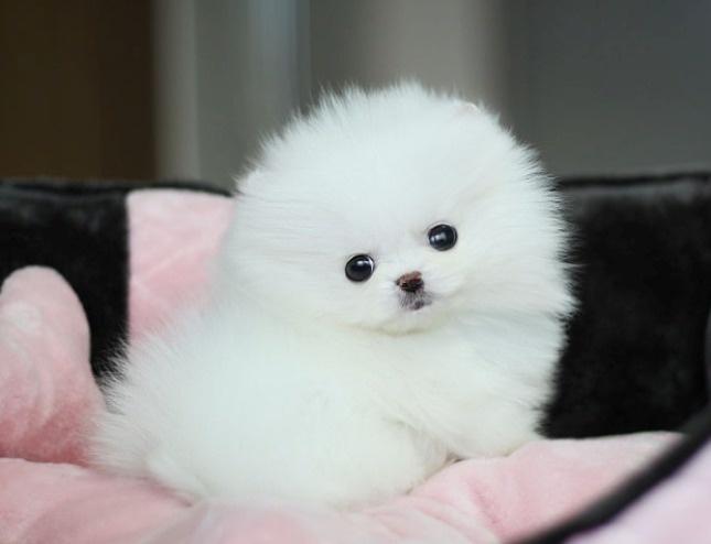 Little Cute White Pomeranian  oh my god, so moms future dog