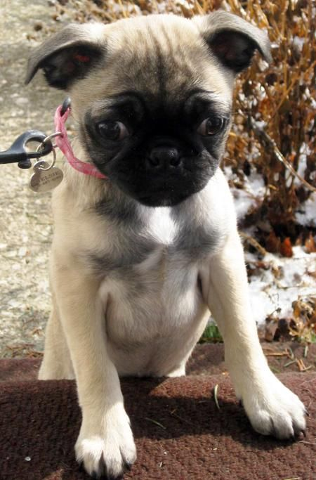 pug mixed with chihuahua chihuahua pug mix so cute i will own one someday 909