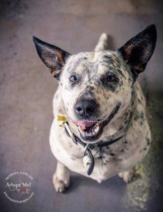 Who's seeking a gorgeous and cuddly cattle dog to complete their family? This lovely lady is a little on the rotund side but with some regular exercise and a healthy diet she will be back to svelt in no time. She is available now to adopt from Renbury Far