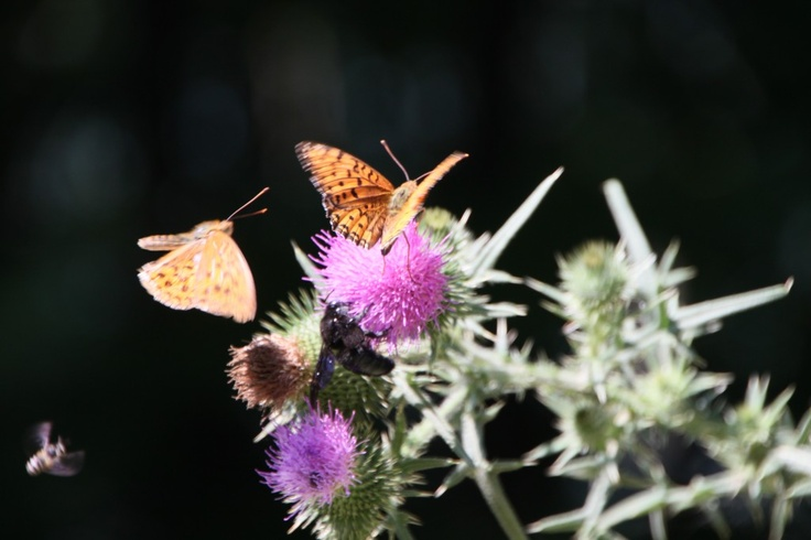 Insects and Butterflies on Thistle Flowers - Public Domain Photos, Free Images for Commercial Use