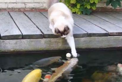 77 best cat friendly garden images on pinterest garden for Koi pond maine coon cattery