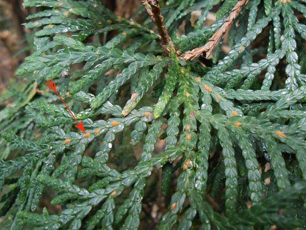 Хвойные растения могут поражаться различными болезнями и вредителями.