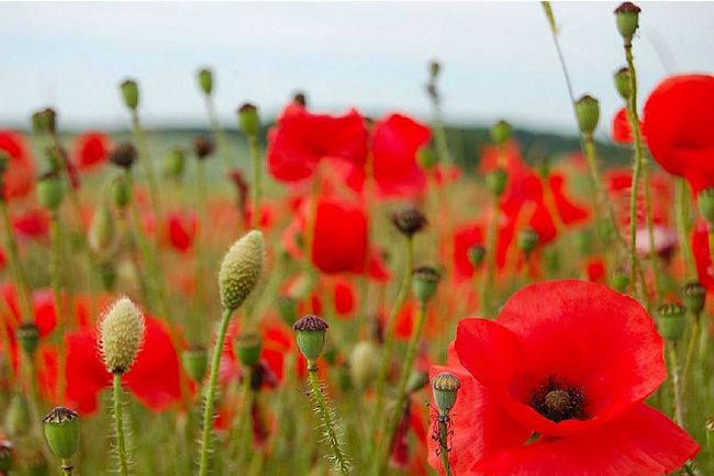 field of poppies & remembrance day