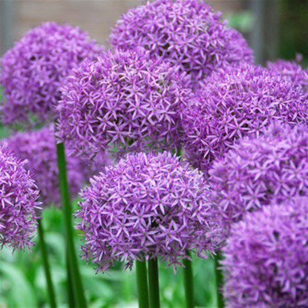 10 allium aflatunense purple sensation flower bulbs yahoo search bulbs and flower. Black Bedroom Furniture Sets. Home Design Ideas