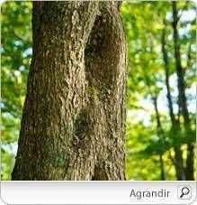 ORME ROUGE (Ulmus rubra ou fulva) :: Indications et posologie