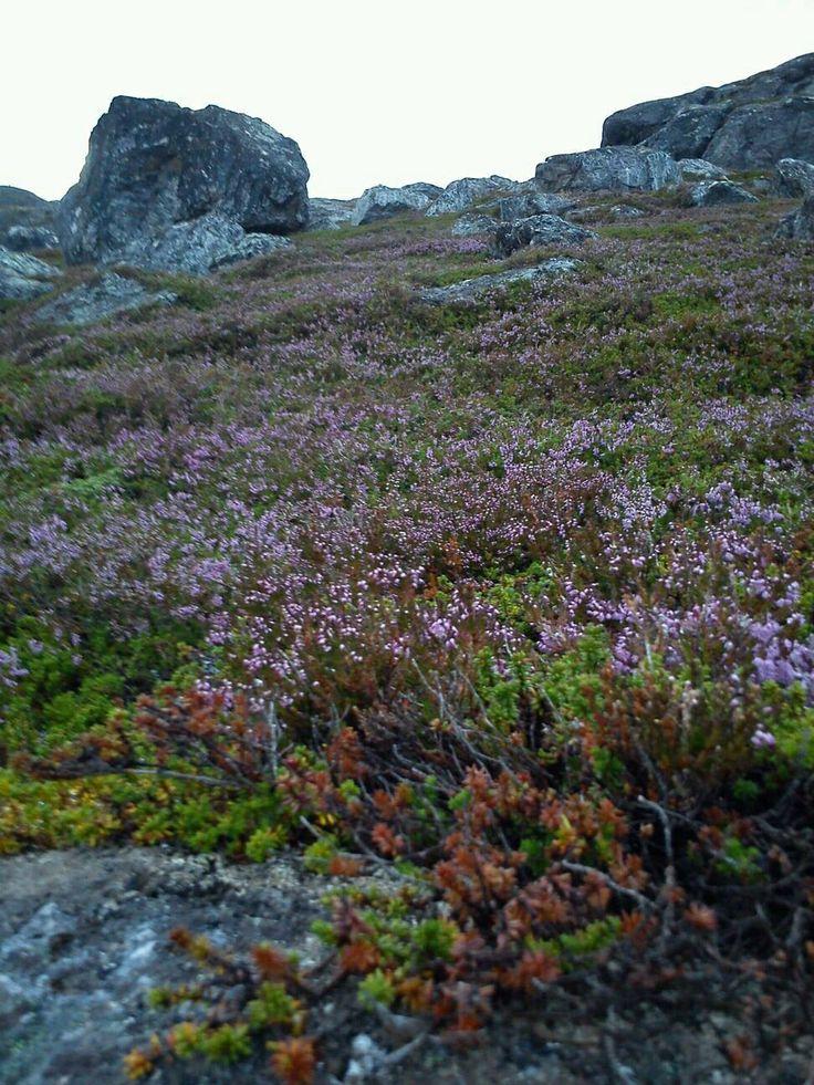 Sommerlyng i nord. Foto:Ann-Sissel Amundsen