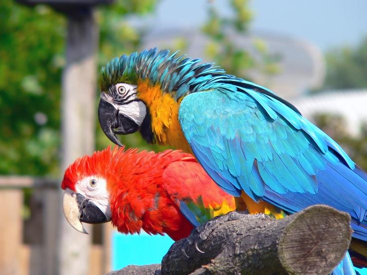 Papegaaien  fotografie: L. Blok