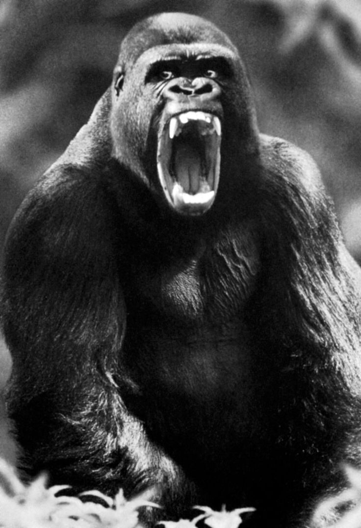 Gorilla Poster Showing His Huge Teeth Male Silverback