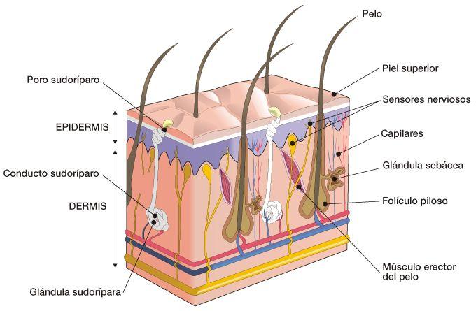 Órgano del Tacto