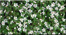 Dwergmispel voordelig Bij plantenkwekerij kenens