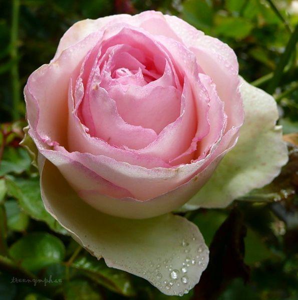 treenymphae — «калифорнийский сад роз» на Яндекс.Фотках