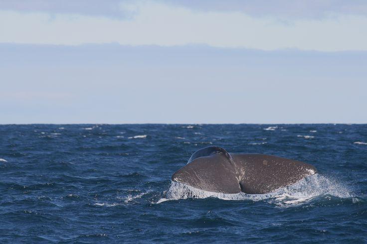 Spermwhale fluke, Bleik Canyon, Andenes