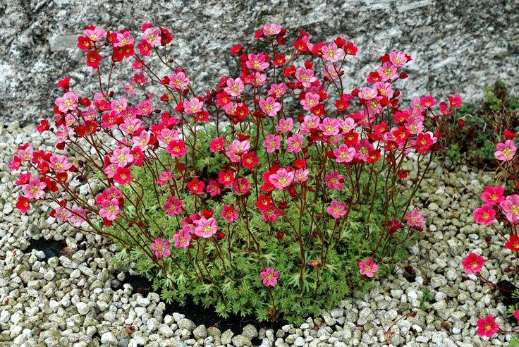 Saxifrage mousse ( Saxifraga x arendsii ) Espèces persistantes
