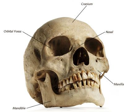 7 best human skull for artists images on pinterest | human skull, Skeleton