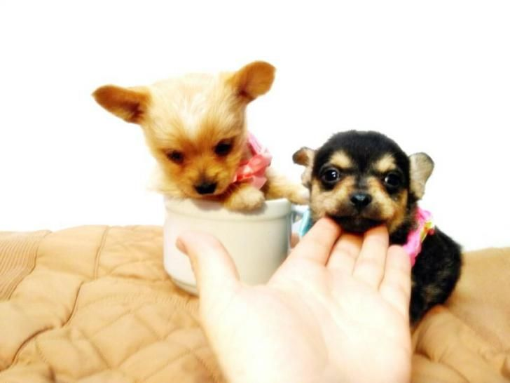 teacup chihuahuas for sale Chicago - Puppies for Sale
