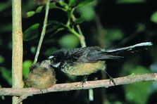 Fantail feeding chick. Photo: D Mudge.