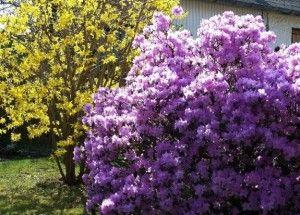 Цветущие кустарники для дачи - названия и фото красивоцветущих видов