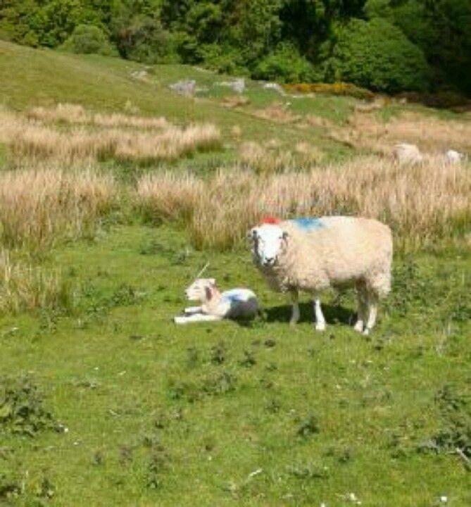 Yorkshire Dales sheep