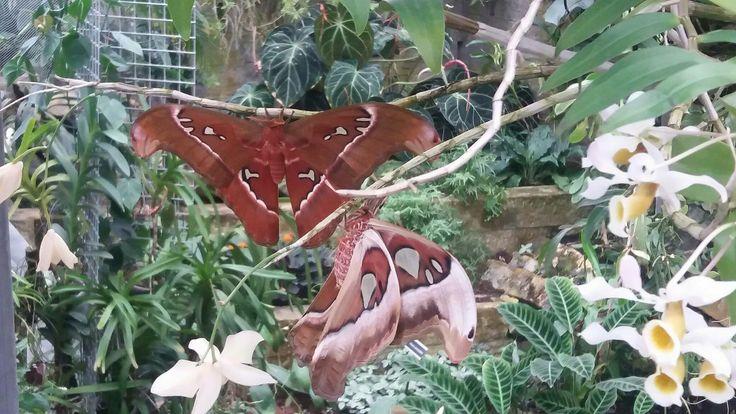 Martináč (Attacus caesar)  Botanická zahrada v Brně