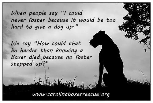 Foster homes needed...Carolina Boxer Rescue