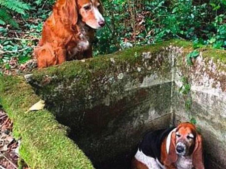 Tillie a 11 ans. Moitié setter irlandais, moitié cocker, cette petite chienne a veillé sur Phoebe, une jeune chienne basset de 4 ans, jusqu'à ce qu'on les retrouve. Sans elle, sa congénère serait morte de faim et d'épuisement.