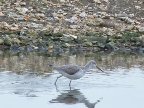 Greenshank: the nebulous plover | Peter Orchard