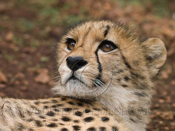 Cheetah youngster taken by Denni Raubenheimer, Sout h Africa