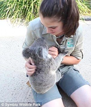 Harry the koala shares a tender Eskimo kiss with his zoo keeper Tami