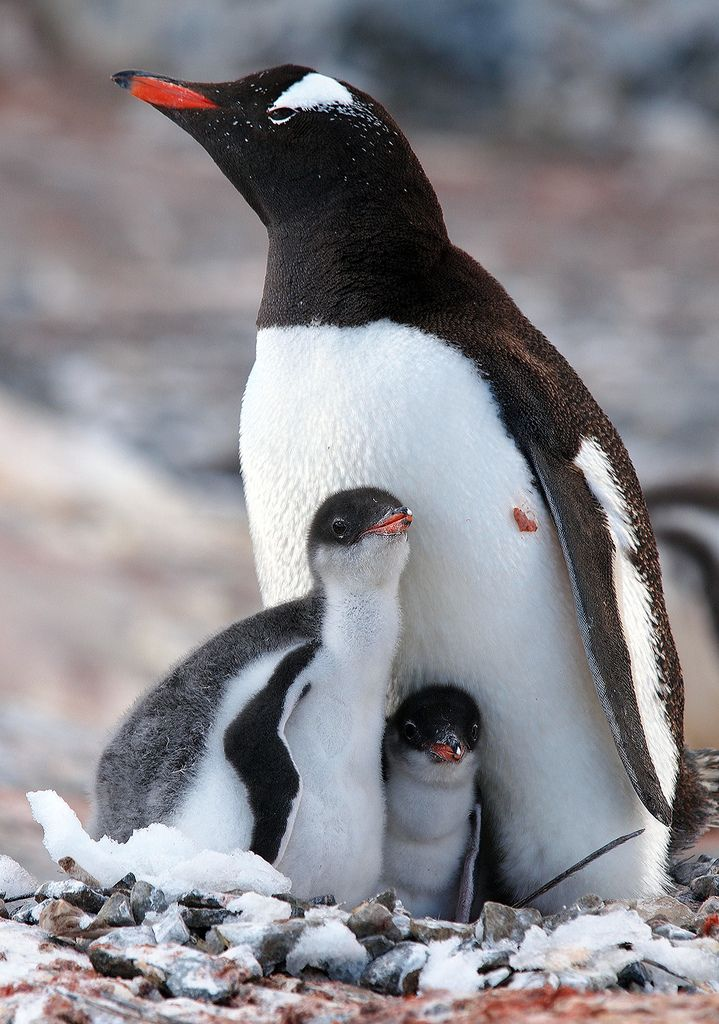 Gentoo penguins are quite distinct from any other penguin, with the white stripe across the top of the head and bright orange bill. They are also better swimmers and divers than other penguins.