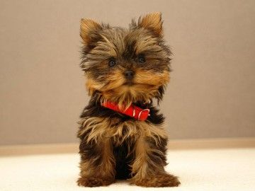 yorkie, that's the puppy i want !!!!  a teacup one sooo cute !!!!